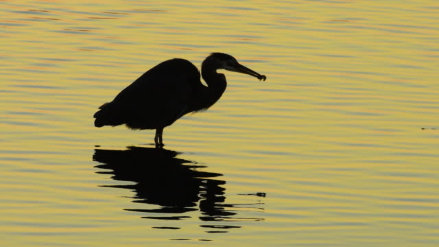 heron subdues its prey at dawn - great blue heron stock videos and b-roll footage