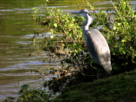 pal: heron - wasservogel stock-videos und b-roll-filmmaterial
