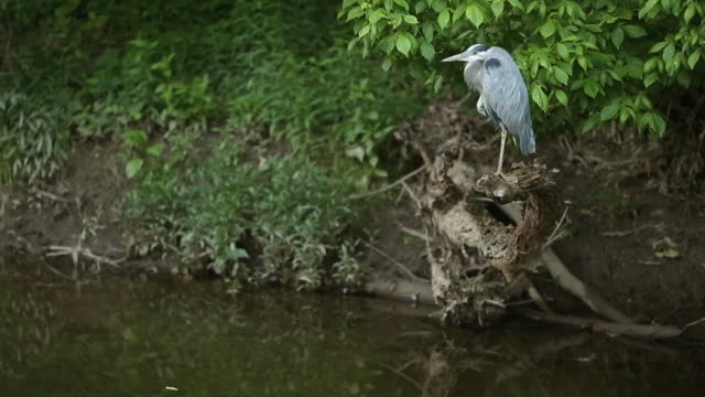 heron - great blue heron stock videos and b-roll footage