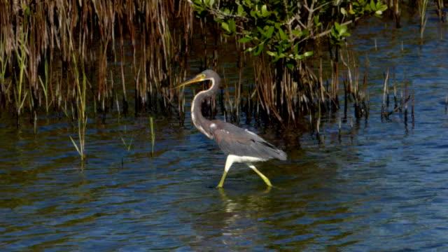 Heron Wading Closeup
