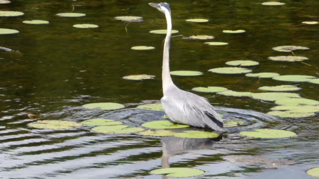heron wading in water up to his belly looking for food, with birds,frogs and wetlands sounds - heron stock videos & royalty-free footage