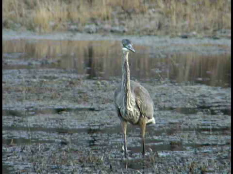 ms, heron wading in water, usa - aquatic organism stock videos & royalty-free footage