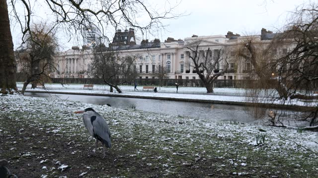 heron walks on the bank of the lake in a snow covered regents park on february 9, 2021 in london, england. heavy snow brings a week of freezing... - aquatic organism stock videos & royalty-free footage