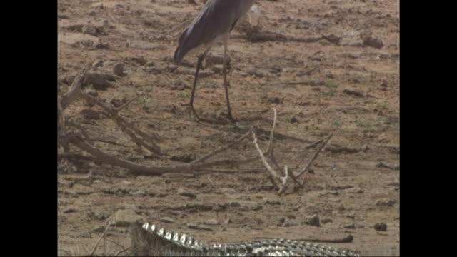 a heron walks past a sunbathing crocodile. - heron stock videos & royalty-free footage