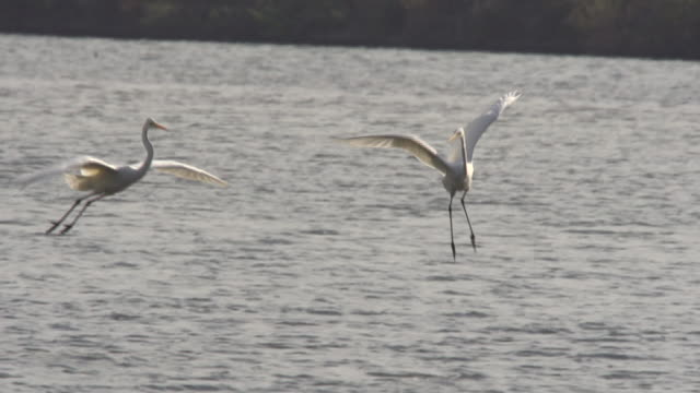 herons (endangered species) fly to the water and waiting for prey - bunter reiher stock-videos und b-roll-filmmaterial