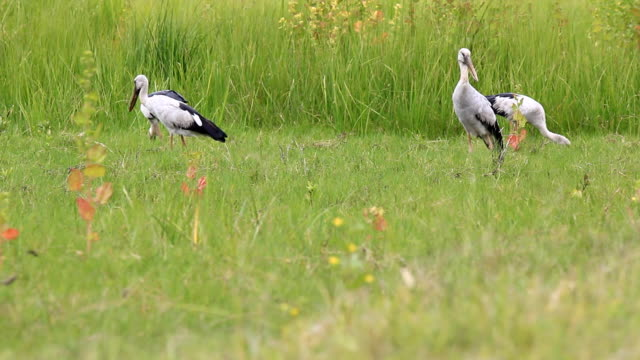 herons foraging in the field - foraging stock videos & royalty-free footage
