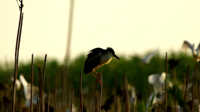herons in colony - reed grass family stock videos and b-roll footage