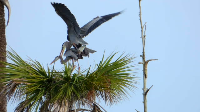 herons sich paaren - nest stock-videos und b-roll-filmmaterial
