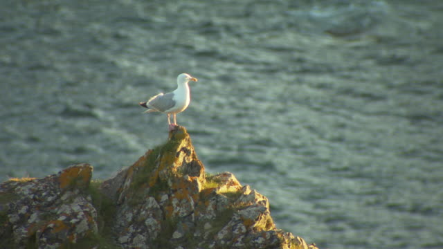 Herring Gull on rock, Kynance Cove, Cornwall