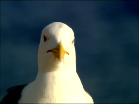 herring gull (larus argentatus) portrait to camera, turns head, andalucia, spain - kopf stock-videos und b-roll-filmmaterial