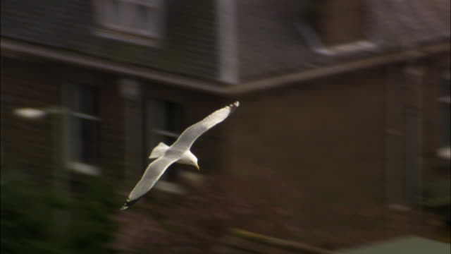 Herring gull (Larus argentatus) soars over Dundee, Scotland, UK