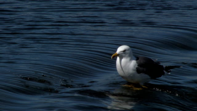 stockvideo's en b-roll-footage met herring gull standing in the flowing water of a river - johnfscott