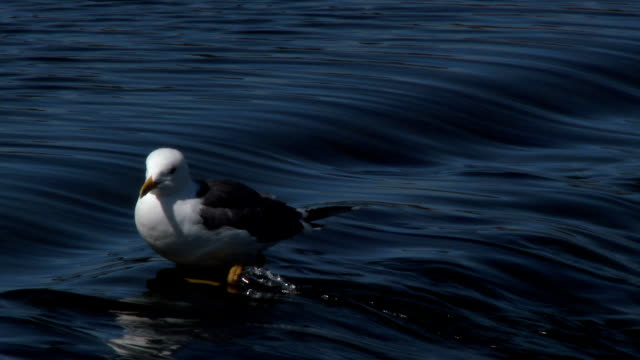 Herring gull standing in the flowing water of a river