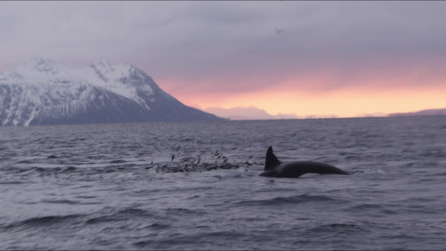 herring jump to escape hunting whales, norway - buckelwal stock-videos und b-roll-filmmaterial