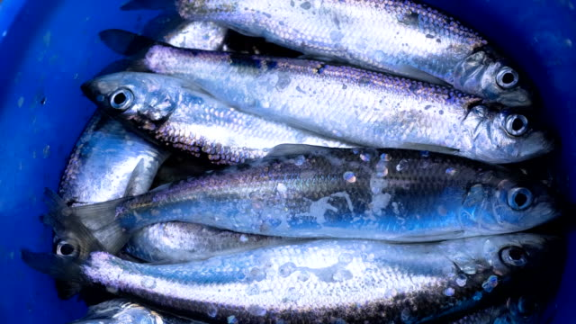 herring - bucket stock videos & royalty-free footage