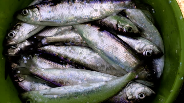 herring - scaly stock videos and b-roll footage