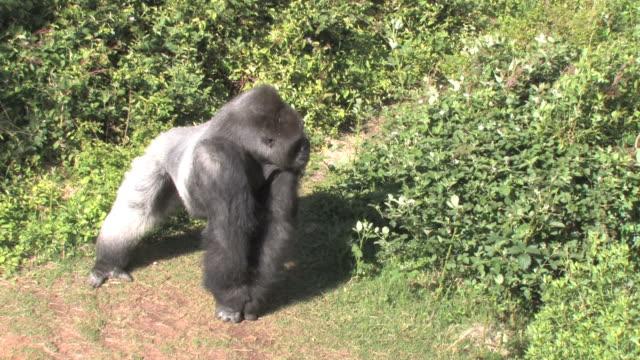 彼は、まだ gorilla - 動物園点の映像素材/bロール