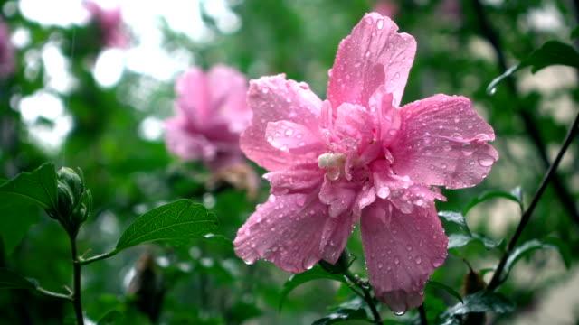 Hibicus bloem in regen dag