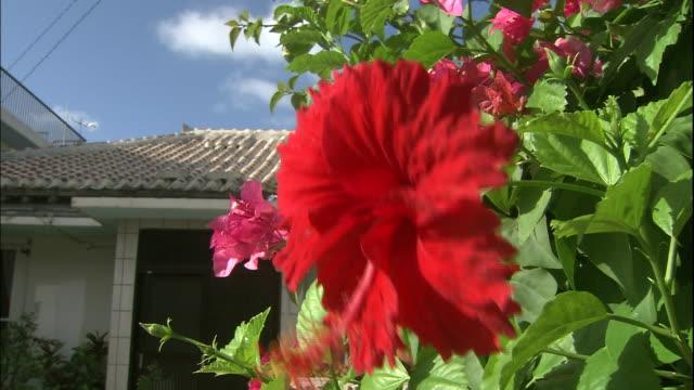 a hibiscus blossom sways in the wind on yonaguni island. - eibisch tropische blume stock-videos und b-roll-filmmaterial