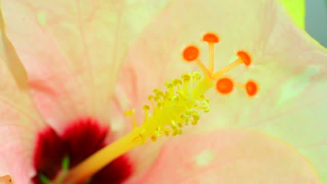 ハイビスカスの花満開 4 k - 太白桜点の映像素材/bロール