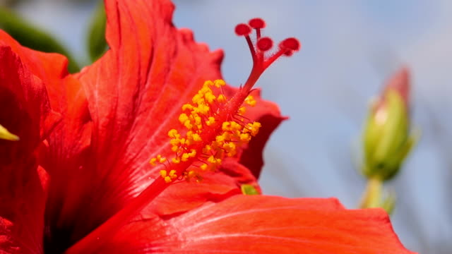 hibiscus flower in hawaii - kauai stock videos & royalty-free footage