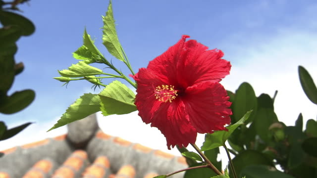 hibiscus flower, okinawa, japan - okinawa stock videos and b-roll footage