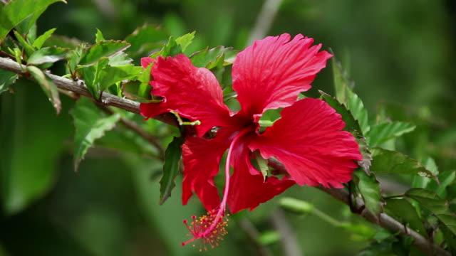 cu hibiscus flower shaking by wind / hilo, big island,hawaii, united states   - eibisch tropische blume stock-videos und b-roll-filmmaterial