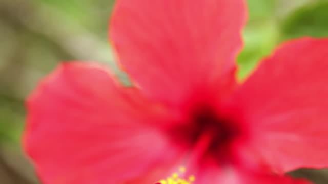 cu td hibiscus flower stamen / hanalei, kauai, hawaii, usa - kauai stock videos and b-roll footage