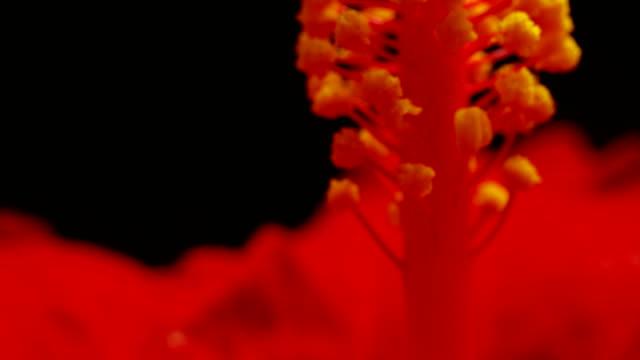 hibiskus-pollen im zeitraffer - eibisch tropische blume stock-videos und b-roll-filmmaterial