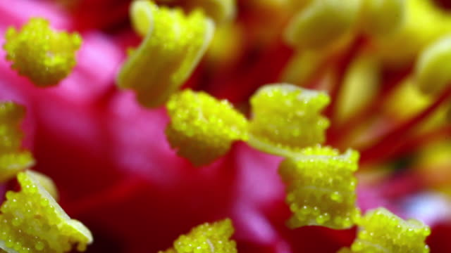 hibiscus pollen madurating in time lapse video - sex education stock videos and b-roll footage