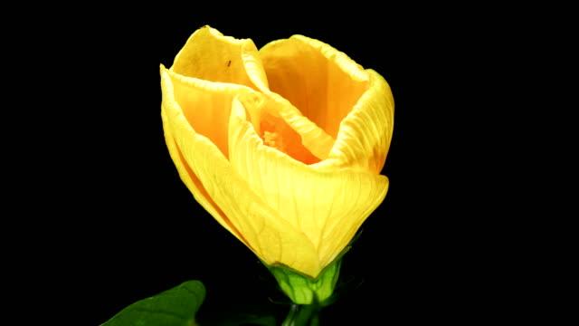 vídeos de stock, filmes e b-roll de flor de hibiscus rosa-sinensis florescendo fundo preto de lapso de tempo - processo vegetal