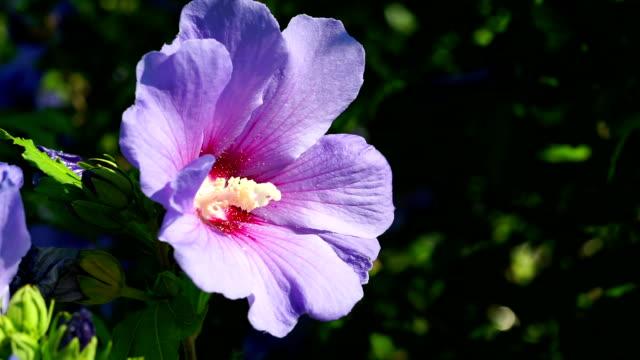 hibiscus - eibisch tropische blume stock-videos und b-roll-filmmaterial