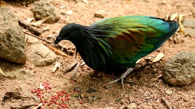hick-billed Green Pigeon ( treron curvirostra)