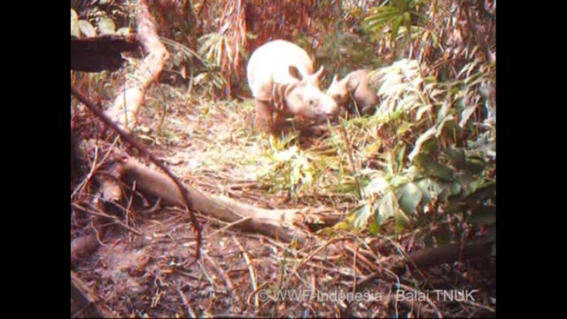 Hidden cameras have captured proof that Javan rhinos are breeding in Indonesia's Ujung Kulon National Park the last redoubt of one of the world's...