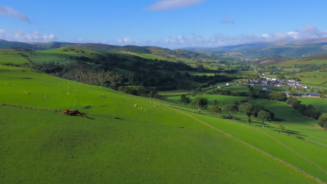 High aerial drone footage of sheep and cattle grazing with Welsh village in the distance