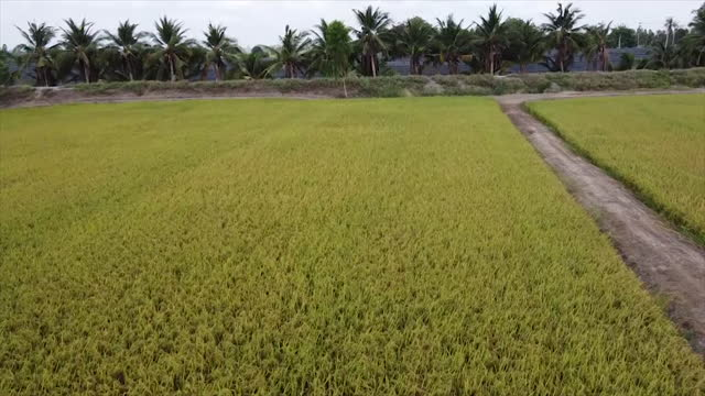 high aerial view from drone farm harvesting machinery tractor rice car working on dry or ripe rice paddy crop field thailand - wide shot stock videos & royalty-free footage