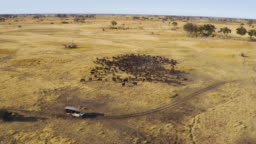 High aerial view of tourists in a 4x4 off-road safari vehicle driving past a large herd of Cape buffalo grazing in the Okavango Delta, Botswana