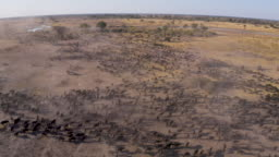 High aerial view of tourists in a 4x4 off-road safari vehicle watching an extremely large herd of Cape buffalo walking in the Okavango Delta, Botswana