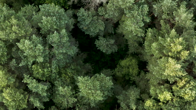 high aerial woodland canopy, slow zoom down into under growth - copertura di alberi video stock e b–roll