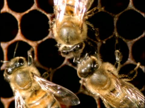 cu high angle 2 honey bees (apis mellifera) communicate by touching antennae, england - affectionate stock videos & royalty-free footage