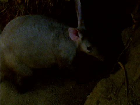 MS high angle, Aardvark (Orycteropus afer) digging large hole in ground, moving large amounts of dusty soil