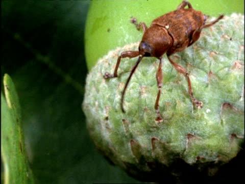 mcu high angle, acorn weevil (cucurlio) sticks long snout into hole, uk - tierische nase stock-videos und b-roll-filmmaterial