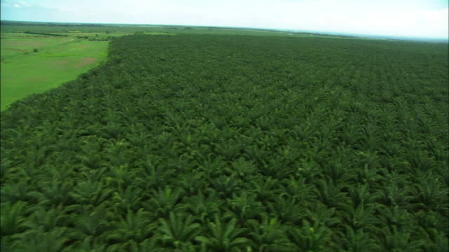 stockvideo's en b-roll-footage met high angle aerial push-in-paths cut through a vast field of rubber trees. / guatemala - rubber