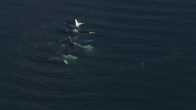 """""""High Angle aerial zoom-in-A small pod of humpback whales surfaces and spouts. / Alaska, USA"""""""