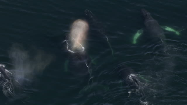 "vidéos et rushes de ""high angle aerial zoom-out-a pod of humpback whales breach the surface of the water and blow. / alaska, usa"" - groupe de mammifères marins"