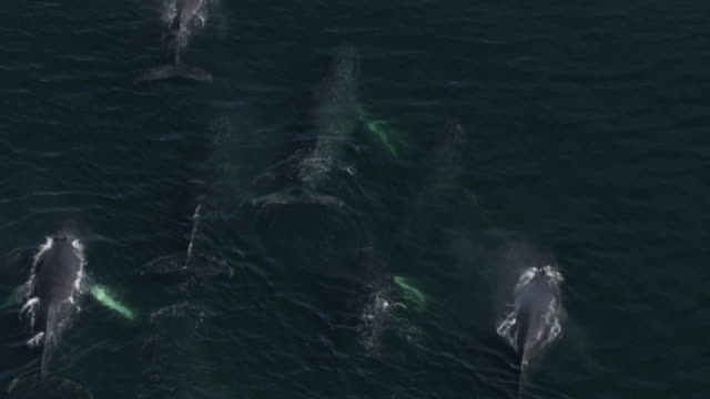 """vidéos et rushes de """"high angle aerial zoom-out-a pod of humpback whales surface from the water and blow. / alaska, usa"""" - souffler"""