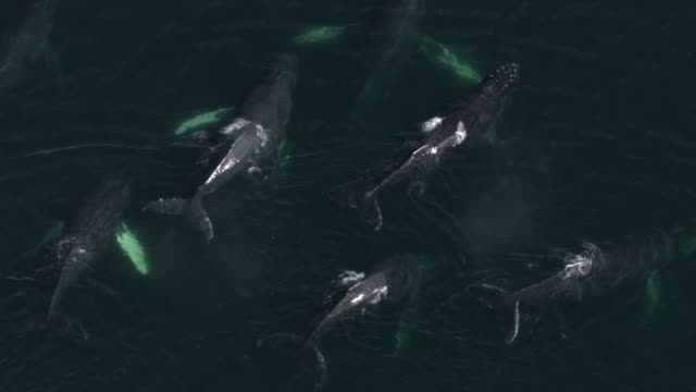 "vidéos et rushes de ""high angle aerial-surfacing humpback whales spout plumes of water into the air before diving again. / alaska, usa"" - groupe de mammifères marins"