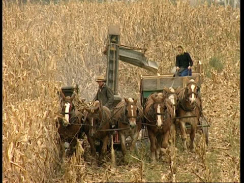 MS high angle, Amish couple operating horse-drawn harvester, moving to camera