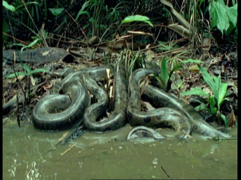 ms high angle, anaconda at waters edge, 1 slithers in to water, south america - 大きい点の映像素材/bロール