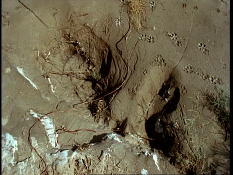 ms high angle, animal tracks in sand, amongst salt deposits, gujarat, india - paw print stock videos & royalty-free footage